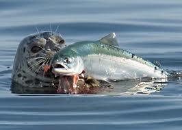 Seal salmon