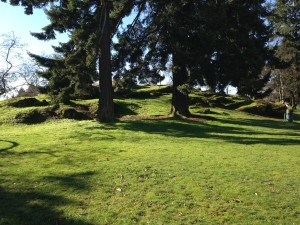 Huge Douglas Firs In Nob Hill Park