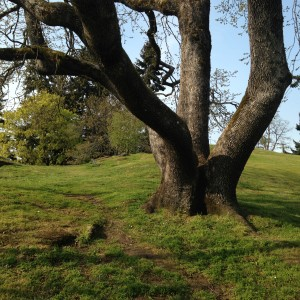 Garry Oaks - Only Place In The World They Grow