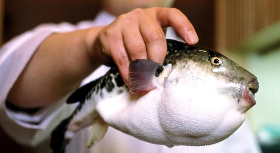 Blow fish adult — img 11